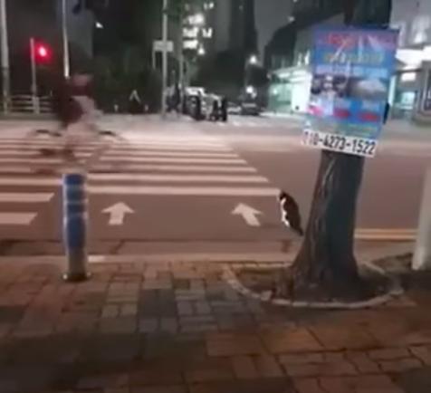 Gato 'muy educado' espera el semáforo en verde para cruzar la calle