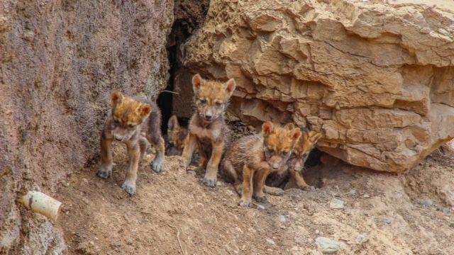 Nacen ejemplares de lobo gris mexicano