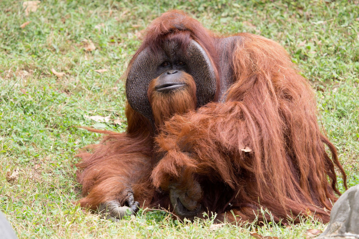 Murió el orangután Chantek que se comunicaba con lenguaje de señas — EEUU