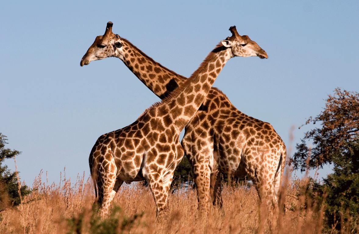 Las jirafas están en peligro de extinción: informe