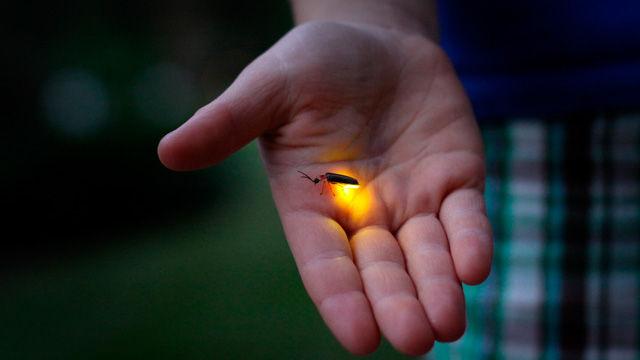 Expertos utilizan luciérnagas para combatir el cáncer