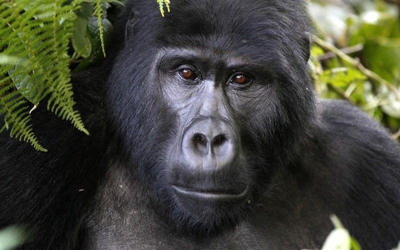 Dejan de estar en peligro crítico de extinción la ballena de aleta y el gorila de montaña
