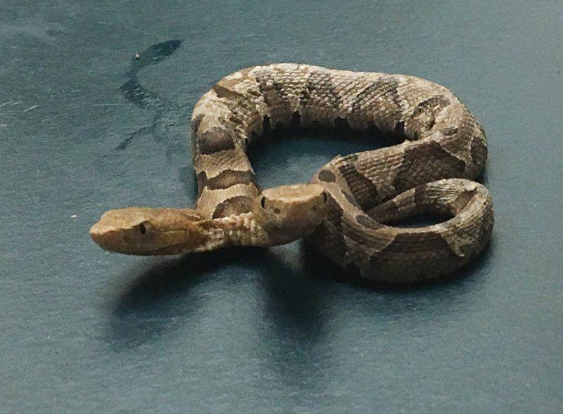 Sorprende hallazgo de serpiente con dos cabezas