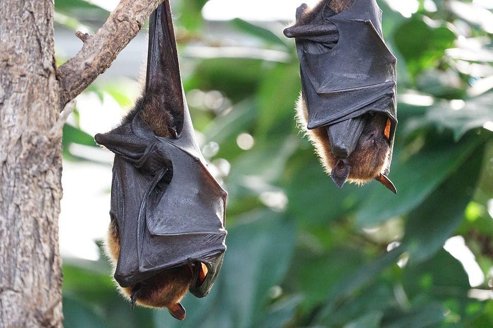 Nueva especie de ébola en murciélagos podría afectar a humanos