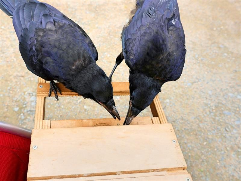 Parque temático usa cuervos para recoger basura del suelo en Francia
