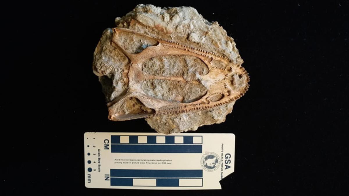 Hallan cráneo de un extraño animal prehistórico en Rusia